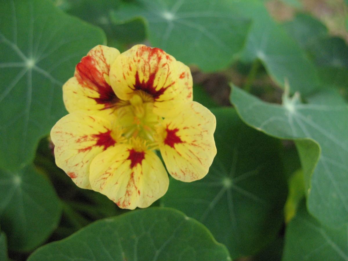 Baguio Flower. Photo: Fr. JBoy Gonzales SJ