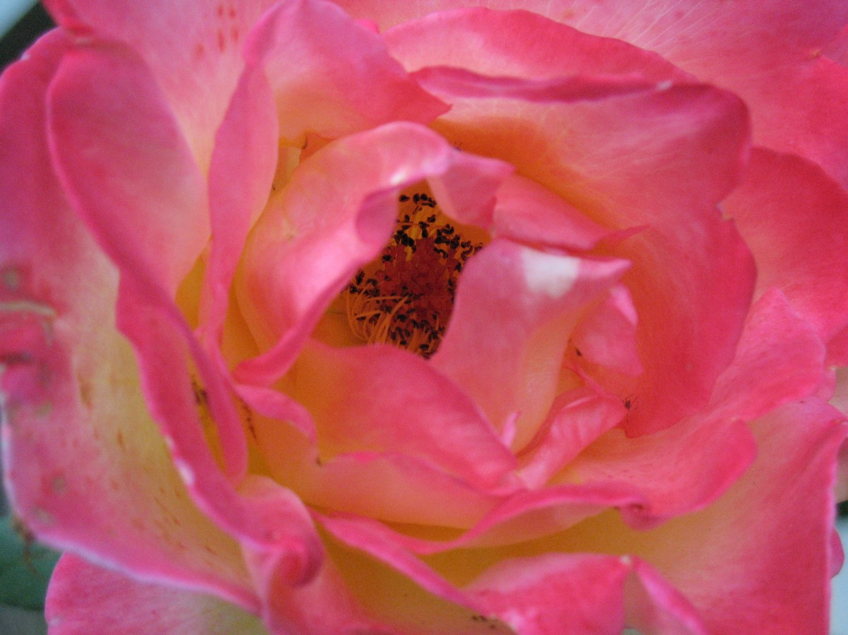 An old rose that I photographed in Mirador Jesuit Retreat House in 2008. Photo: Fr Jboy Gonzales SJ