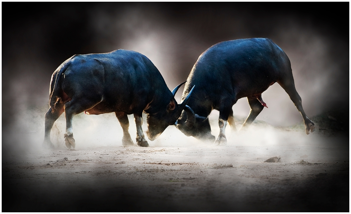 Buffaloes in conflict, Thailand. Photo © Ken Lindsay 2011.
