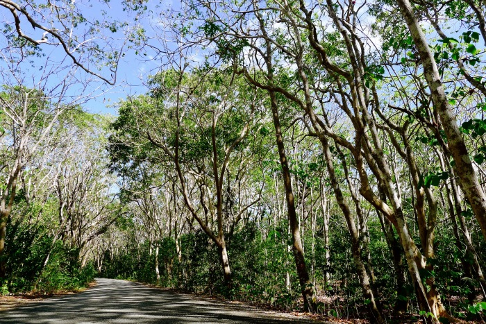 Molave trees form a canopy to those going to the Salagdoong Beach Resort. Photo: Fr. Jboy Gonzales SJ