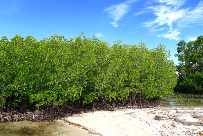 These are mangroves from seedlings. See the newly planted seedlings (right corner). Photo: Fr. Jboy Gonzales SJ