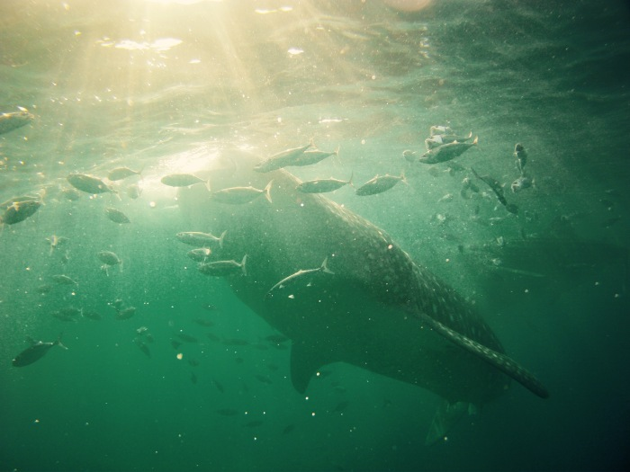 Whale sharks up close. Oslob, Cebu. 23 August 2015 Photo: Fr. JBoy Ginzales SJ
