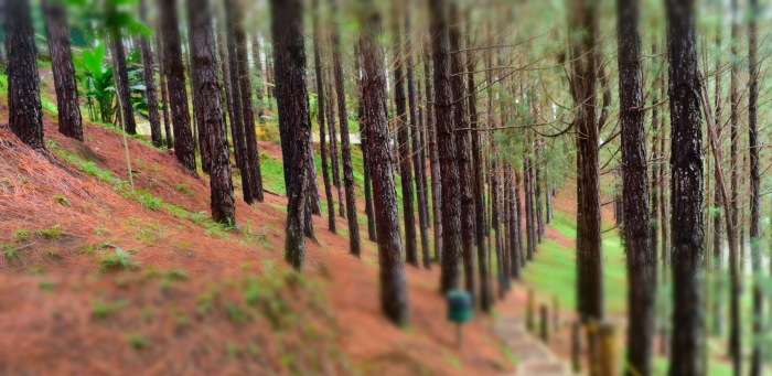 Pine Trees in Dahilayan Forest Park. PHoto: Fr. Jboy Gonzales SJ
